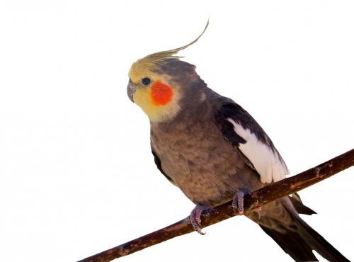 Cockatiel Bird White Background