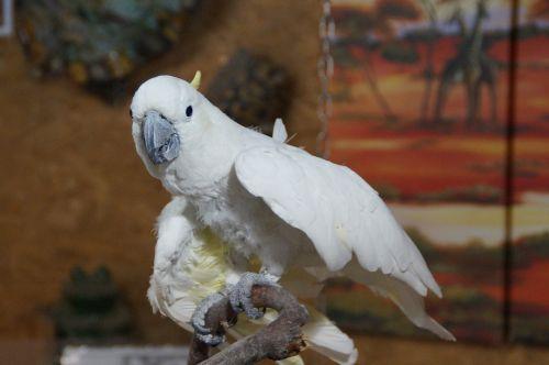 cockatoo bird parrot