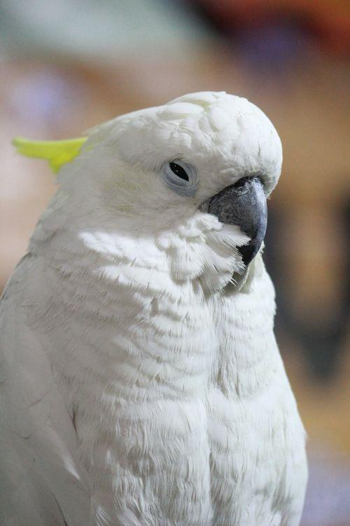 cockatoo bird beak