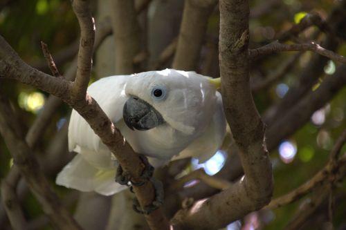 cockatoo parrot white
