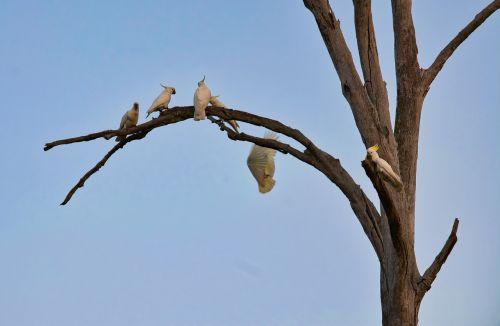 cockatoo perched tree