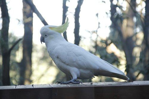 cockatoo  australia  rainforest