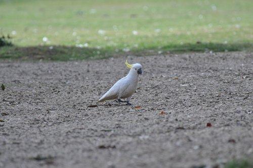 cockatoo  birds  sulphur-crested cockatoo