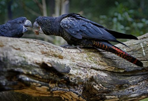 cockatoo red-tailed cockatoo calyptorhynchus banksii