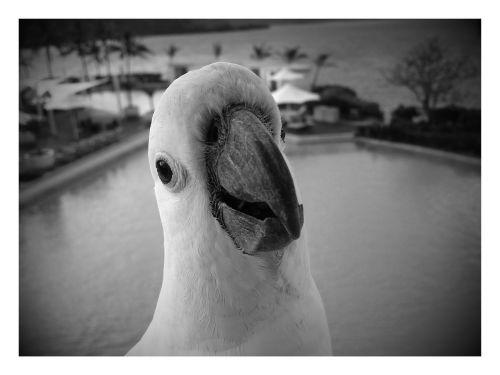 cockatoo white black