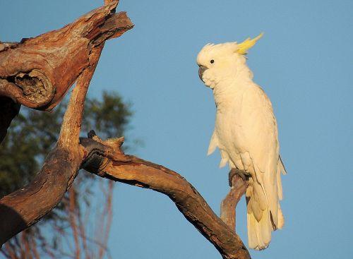 cockatoo bird australian native