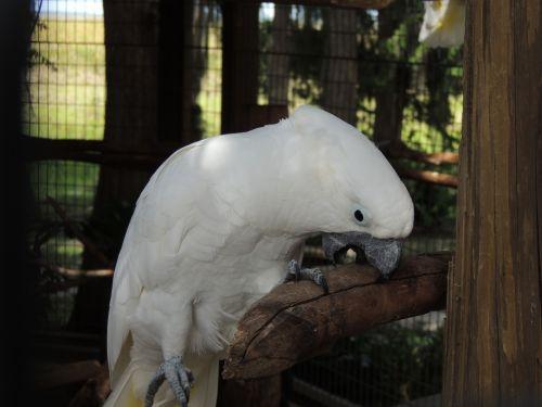 Cockatoo Biting Perch