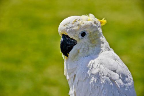 Cockatoo Looking At Camera