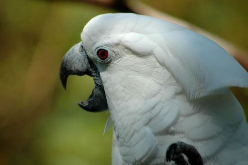 Cockatoo Profile