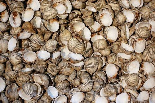 cockle  shell  shellfish