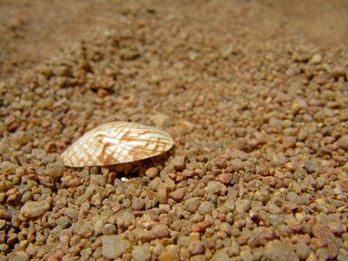 cockle shell coarse grained sand sea shell