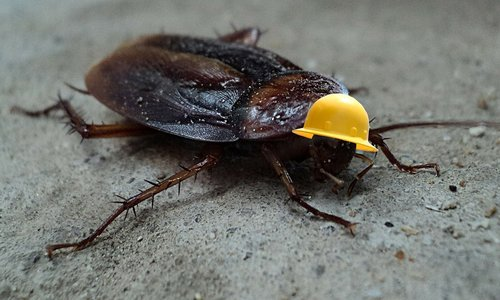 cockroach  insect  pest