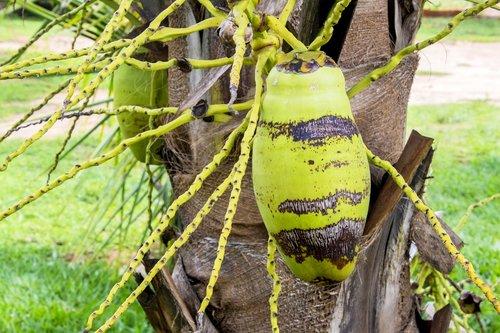 Coco, kokoso nykštukė, pėdų kokoso, žalia kokoso, pobūdį, maisto, lauke, augalų, lapas