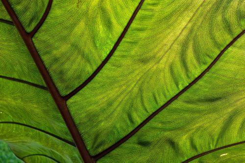 coco yam leaf tropical