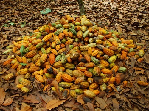 cocoa  pará  agriculture