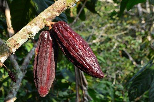 cocoa  cacao  plant