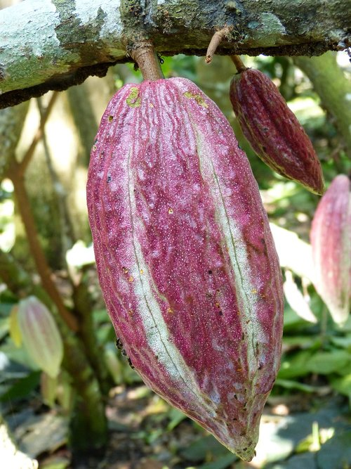 cocoa  cocoa bean  fruit