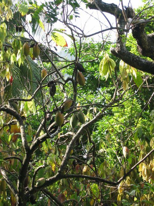 cocoa cocoa beans plant