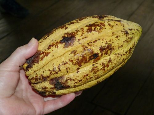 cocoa bean cacao cocoa