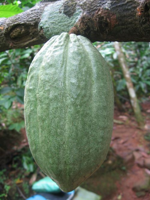cocoa bean cocoa cocoa fruit