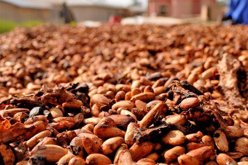 cocoa beans drying ghana