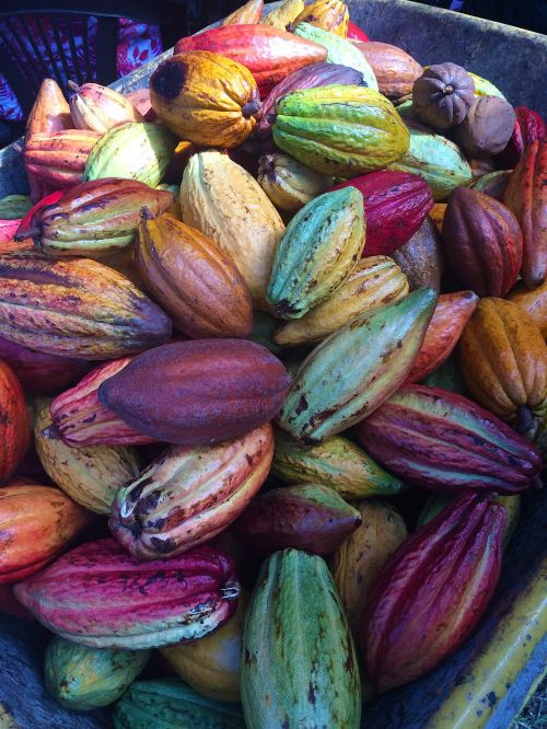 cocoa pods chocolate pods fresh