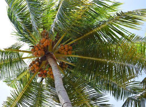 coconut coconut tree nature