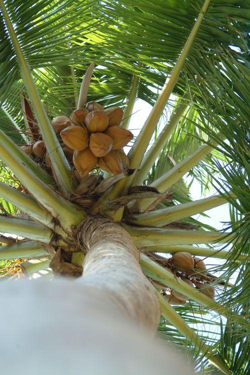 coconut palma maldives