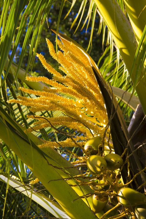 coconut palm blooms