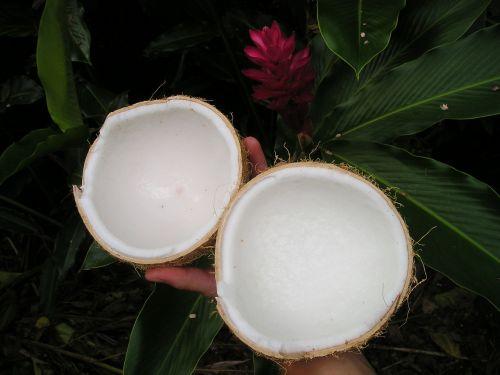 coconut nature samoa