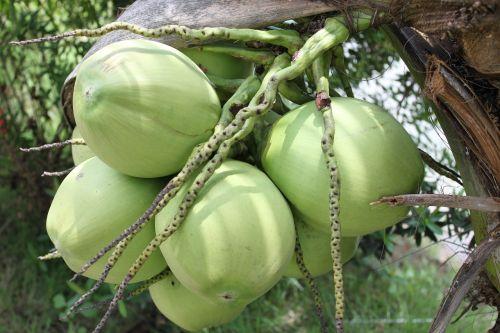coconut vietnam green