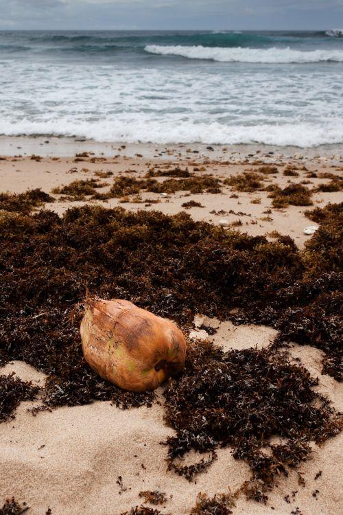 Coconut And Seaweed On Coast
