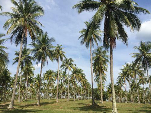 coconut garden the longest streak beautiful ensembles