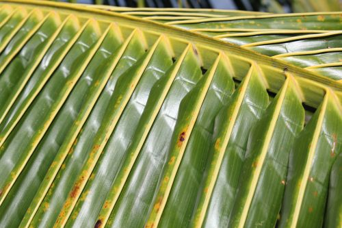 Coconut Leaves 2