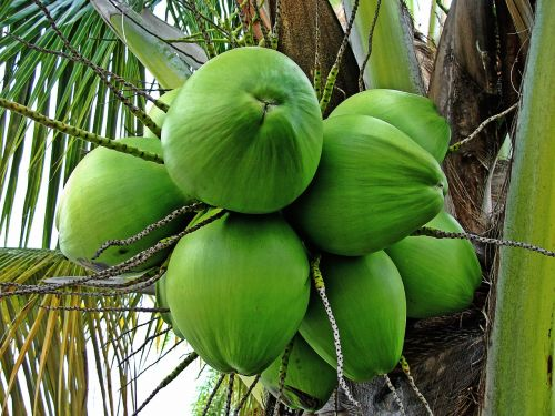 coconut tree green coconuts tropical plant