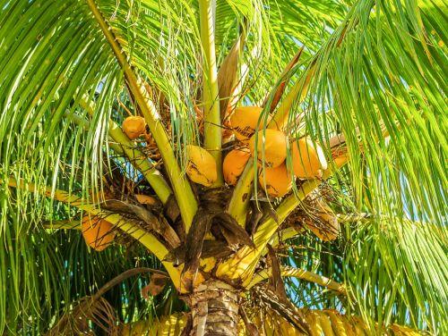 kokoso medis,kokoso palmių,vaisiai,atogrąžų,tropiniai vaisiai,kokoso,augalas