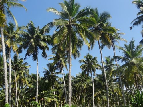 coconut tree plantation coconut