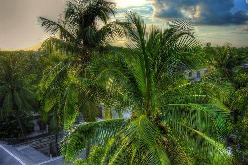 coconut tree tree green