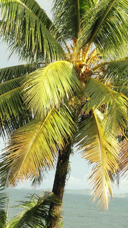 coconut tree tropical tree palm tree