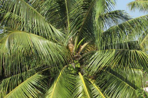coconut tree palm palm tree