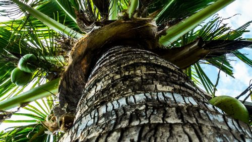coconut tree palm coconuts