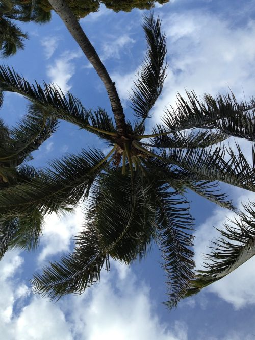 coconut tree tropical hawaii