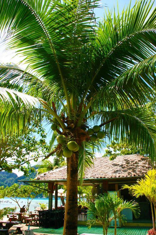coconut tree palm tropical