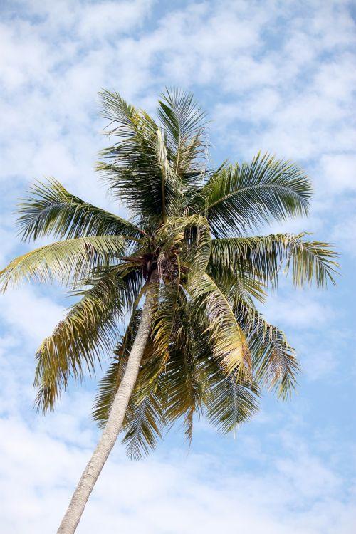 kokoso, medis, papludimys, kokoso medis paplūdimyje
