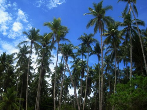 coconut trees costa rica frond