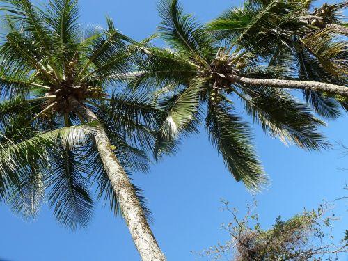 kokoso medžiai,prieplauka,Itagua,ubatuba,San Paulas Brazilija pakrantė,kraštovaizdis,aušra,Royalty Free