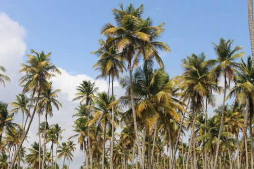 coconut trees coconut palms