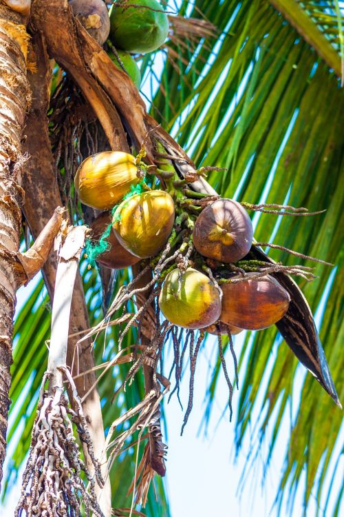 coconuts palm palm fronds