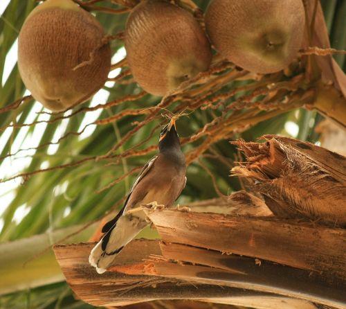 coconuts tree dried