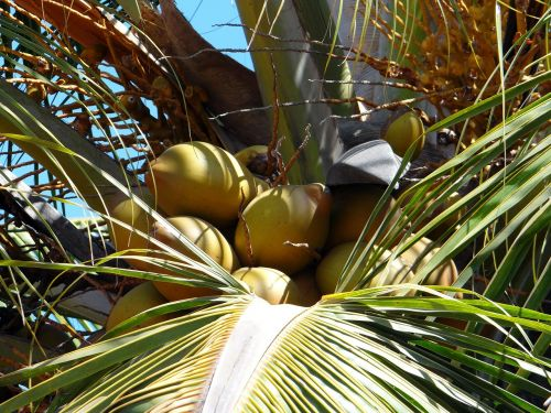 coconuts palms trees